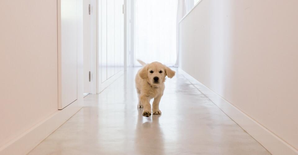 Biały szczeniak idzie po korytarzu w domu