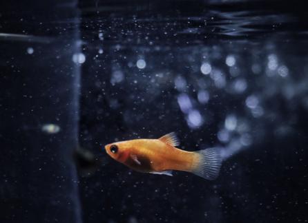 Złota rybka pływająca w wodzie